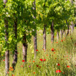 Stock Photo: Bunch of grape in the vinyard