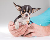 Portrait of a cute purebred puppy chihuahu — Stock Photo