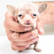 Expressive portrait Chihuahua puppy — Stock Photo