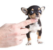 Short haired chihuahua puppy in front of a white background — Foto de Stock