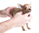 Short haired chihuahua puppy in front of a white background — Stockfoto