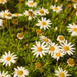 Camomile — Stock Photo #23616007