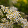 Camomile — Stock Photo #23616853