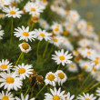 Camomile — Stock Photo #23989943