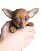Short haired chihuahua puppy in front of a white background — Stock Photo
