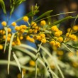 Mimosa tree — Stock Photo