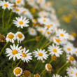 Camomile — Stock Photo #24692991