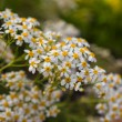 Camomile — Stock Photo #24693947