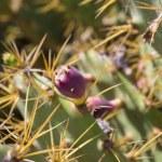 Cactus Opuntia — Stock Photo #25251907