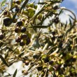 Olive tree — Stock Photo #25787439