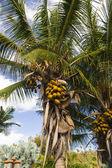 Kakao palm — Stok fotoğraf