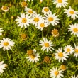 Camomile — Stock Photo #26887605