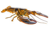 Raw lobster — Stock Photo