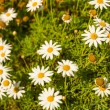 Camomile — Stock Photo #27263993
