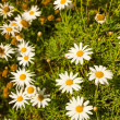Camomile — Stock Photo #27945463