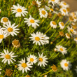Camomile — Stock Photo #29086081