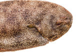 Fish Dover sole — Stock Photo