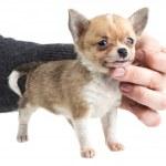 Chihuahua — Stock Photo