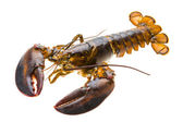 原料龙虾 — 图库照片