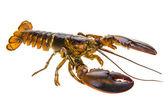 Raw lobster — Foto Stock