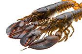 Raw lobster — Stockfoto