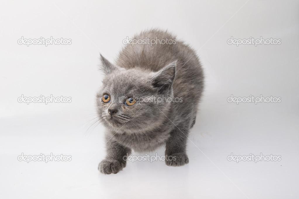 苏格兰折耳猫猫 — 图库照片#39807827