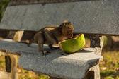 野生の猿 — ストック写真