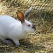 Rabbit in the paddock — Stock Photo