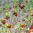 Stock Photo: Glade cranberries