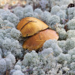 Mushrooms growing among lichen — Stock Photo