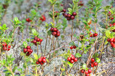 Glade cranberries — Stock Photo