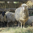 Merino sheep — Stock Photo #19923815