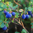 Marsh blueberry — Stock Photo
