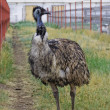 Постер, плакат: Emu poses in the paddock