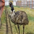 Emu funny yawning — Stock Photo #50063047