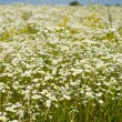 Camomile meadow — Stock Photo