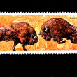 Fighting Bison - Stock Photo