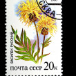 Stock Photo: Cornflower Russian