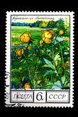 Globeflower — Stock Photo