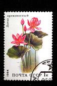 Heilige lotus — Stockfoto