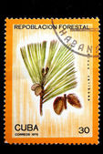 Pinus caribaea — Stock Photo