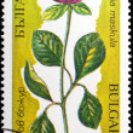 Цветы пион maskula Восточная Европа — Стоковое фото #13508063