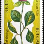 fiori dell'Oriente europas paeonia maskula — Foto Stock