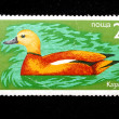 Ruddy shelduck - Stockfoto