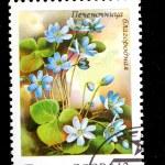Shows Anemone hepatica (Hepatica nobilis) — Stock Photo #15612251