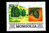 Mongolia shows image of the tree Pinus silvestris — Stock Photo