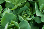 Ornamental foliage — Stock Photo