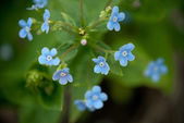 Blue flax — Stock Photo
