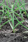 Küçük yeşil soğan — Stok fotoğraf
