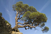 Pine on a cliff. — Stock Photo